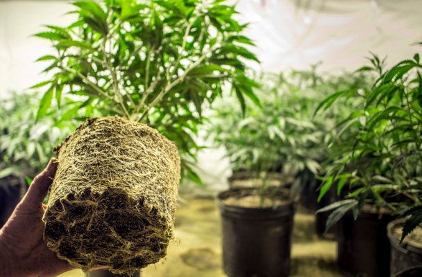 Photo of Marijuana Plant Roots in Transplanting