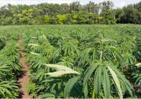 Outdoor Cannabis Farm