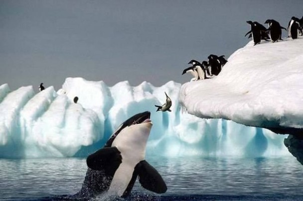 Photo of a penguin leaping into water, while at the same time, a whale came out of the water with its mouth open