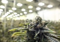 Indoor marijauna facility growing sea of cannabis plants in the background with texture nug in the foreground